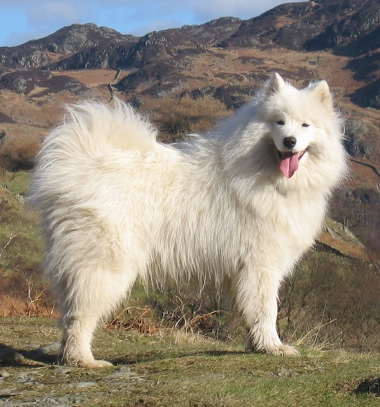 The right side of a white Samoyed that is standing at the crest of a hill, it is looking forward, its mouth is open and its tongue is out. Its coat is very thick and its eyes are squinted.