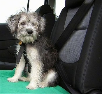 A black and tan Schnoodle puppy is sitting on a chair in the backseat of a vehicle. It is looking to the right. It has fly away hair on its head. The dog is wearing a seat belt.