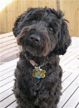 Ernie, the Miniature Schnauzer/Miniature Poodle mix (Schnoodle) all grown up at 14 ½ months old