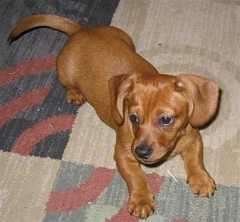 Top down view of a short haired red Schweenie dog  with short legs that is laying across a rug and it is looking to the left.