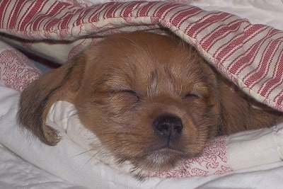 Close up - A red Schweenie puppy is sleeping under a red and tan striped blanket.