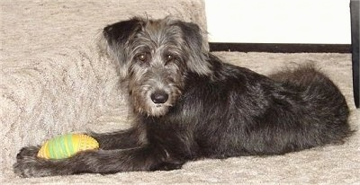 The left side of a black with gray Shepadoodle puppy that is laying in front of a staircase, it has a football toy in between its front paws.