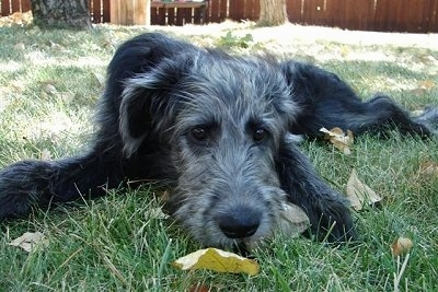 Close up - A black with gray Shepadoodle puppy is laying down in grass and it is looking forward.