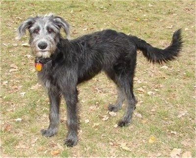 The left side of a black with white Shepadoodle puppy that is standing across a grass surface that has leaves over it. It is looking forward. It has a long tail that it is holding low.