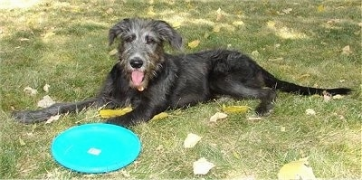 The left side of a black with grau Shepadoodle puppy that is laying across a grass surface and there is a blue Frisbee on its front paw.