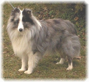 The left side of a grey with white and black Shetland Sheepdog that is standing across a grass surface and it is looking forward.
