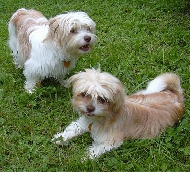 Two long coated, ShiChi puppies are standing and laying outside in grass.