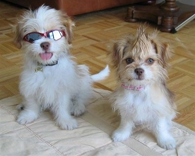 Two ShiChi puppies are sitting on a blanket and they are looking forward. The left one is wearing sunglasses and sticking its tongue out. The right one has its hair spiked up and is looking forward.