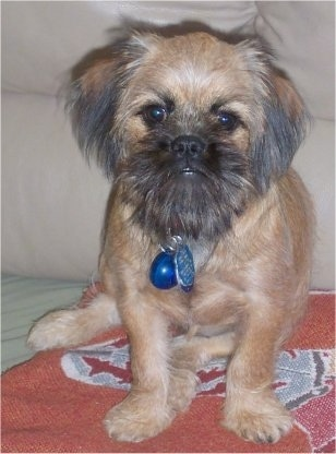 Close up front view - A tan with black Shiffon dog is sitting on a rug in front of a couch and it is looking forward. The dog has longer hair on its face and ears and it looks like a monkey.