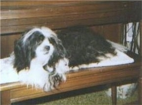 A longhaired, black and white Shih-Apso dog is laying across a wooden piano bench looking to the right.