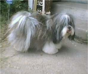 The right side of a long, thick-coated, grey with white Shih Apso dog that is standing across a concrete step, it is looking to the right, its mouth is open and its tongue is out. It looks like a small sheepdog with the hair on its face covering up its eyes. Its tail is curled up over its back with long fringe hair.