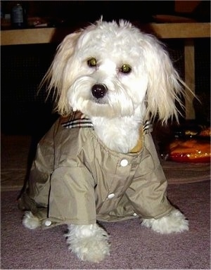 Close up - A white Shih-Mo is wearing a green jacket, it is sitting on a carpet, it is looking to the left and its head is slightly tilted to the right. It has longer straight hair on its ears and a thick wavy coat with round eyes and a black nose.