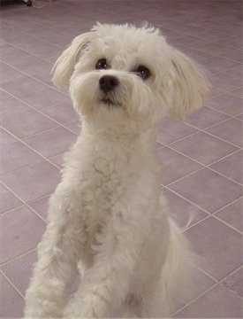 A wavy coated, soft looking, white Shih-Mo is standing up against a surface, its hind legs are on a tiled floor and it is looking up.