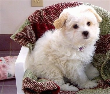 A fluffy little white Shih-Mo puppy is sitting across a plastic white chair that has a maroon and green blanket covering it. The puppy is looking to the right.