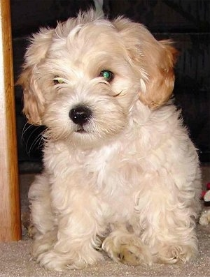 A small wavy-coated tan with white Shih-Tzu/Malti-poo puppy is sitting on a carpet and it is looking forward.