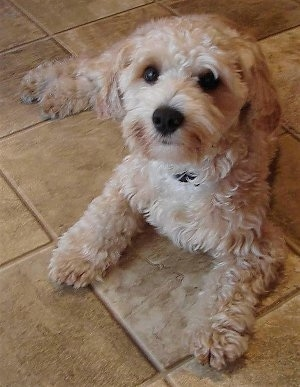 Joey the Shih-Tzu / Malti-poo cross at 8 months old