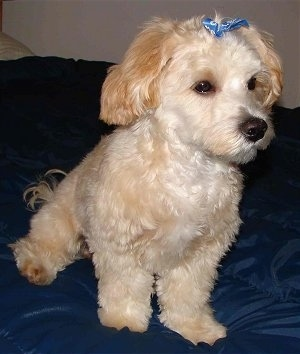 A tan with white Shih-Tzu/Malti-poo cross puppy is sitting on a blue pillow and it is looking to the right. It has a blue bow in its hair. Its coat is shaved shorter with longer hair on its ears and tail.