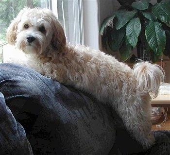 Side view - A tan with white Shih-Tzu/Malti-poo mix is laying across the back of a blue couch in front of a window looking towards the camera.