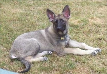 A black and grey with tan short haired Shiloh Shepherd puppy is laying on grass and it is looking to the left.
