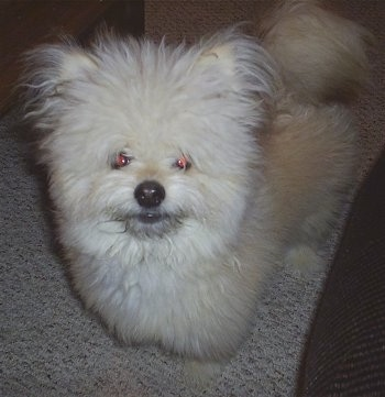 Buddy the Shiranian at 1 year old (Pomeranian / Shih Tzu hybrid)