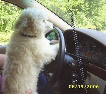 The right side of a tan and white Shiranian dog that is jumped up with its front paws inside of a stearing wheel of a car looking out of the front window.