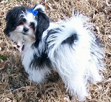 The back left side of a black and white Shiranian puppy that is standing in grass, it has a blue bow in its hair and it is looking forward. Its tail is curled up over its back.