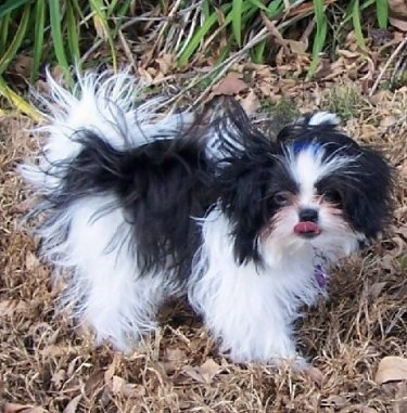 Shiranian Dog Breed Pictures 1