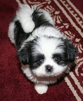 Maximus, the Shiranian (Pom / Shih Tzu hybrid) puppy at 8 weeks old
