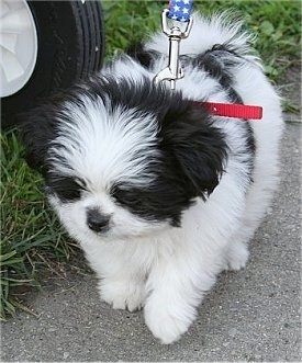 Close up - A black and white Shiranian puppy is standing on a concrete walkway and it is looking down.
