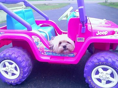 A hot pink toy Jeep with purple wheels and a teal blue seat is sitting across a blacktop surface and sitting in the Jeep is a tan Shiranian dog.