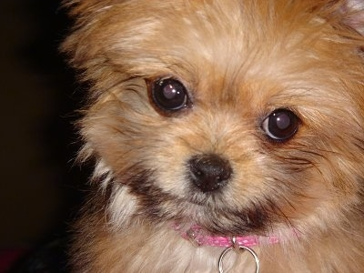 Close up - The fluffy little face of a brown with white Shiranian puppy. It has round dark eyes and a black nose.