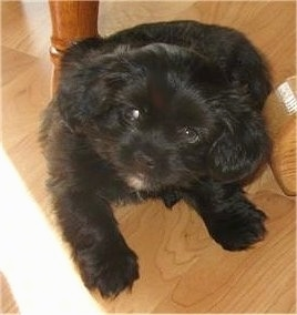 Topdown view of a little black Shorkie Tzu that is sitting on a hardwood floor, under a table and it is looking up. Its eyes are looking to the left.