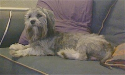 The left side of a grey with white Shorkie Tzu dog that is laying across a couch and it is looking forward. It has longer hair on its head and ears.