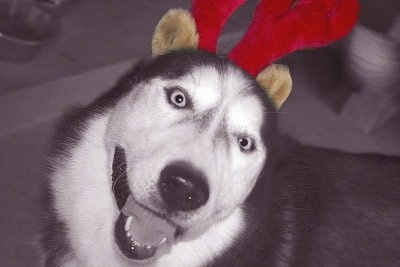 Close up - Topdown view of a black and white Siberian Husky that is wearing reindeer antlers, it is looking up and it looks like it is smiling.