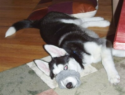 A black and white with grey Siberian Husky is laying across a rug on its right side and it has its mouth inside of a gray armband.