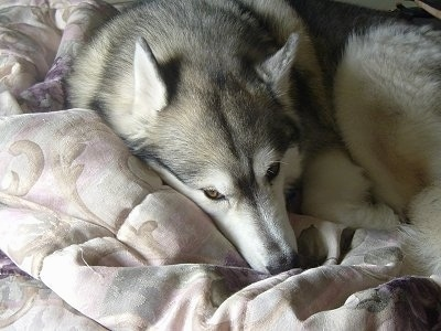 A grey and white with black Siberian Husky is laying down on a bed and it is looking forward. The dog has golden brown eyes.