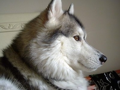 Close up side view head shot - An alert, thick coated, grey and white with black Siberian Husky is looking to the right.