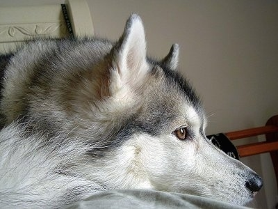 Close up side view - A grey and white with black Siberian Husky is laying across a bed with its head down and it is looking to the right.