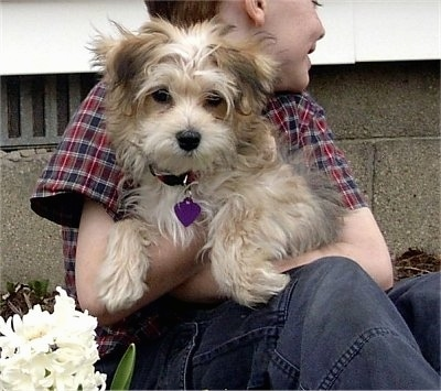 Zoey, the Silkchon puppy, which is a hybrid of Silky Terrier and Bichon Frise, at 4 months old