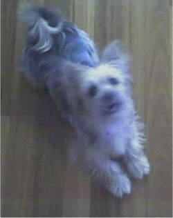 Khayman, the adult Sikese (Maltese / Silky Terrier mix)
