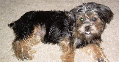 Side view - A soft looking, black and tan Silky Tzu puppy is laying on a carpet on its left side and it is looking up and forward. The dog has an underbite and its bottom row of teeth are showing. It has round eyes and a black nose and black lips.