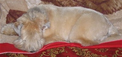 The left side of a shaved tan Soft Coated Wheatzer dog laying down across a red blanket. It has longer hair on its face.