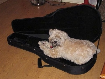 A thick coated, tan Soft Coated Wheatzer dog is laying in a black guitar case. It is looking at the camera and its head is tilted to the right.