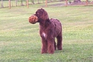 A chocolate with white Springerdoodle puppy is standing in a field and it is looking to the left. It has a large toy in its mouth.