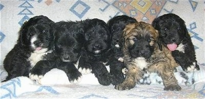 A litter of 6 Saint Berdoodle puppies are lined up in a row laying against the back of a bed and they are all looking forward. Five of the dogs are black adn white and one is tan with black and a tuft of white.