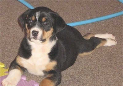 A small, tricolor black with tan and white St. Weiler puppy is laying out on a carpet, its front paws are on top of a violet toy and it is looking forward.