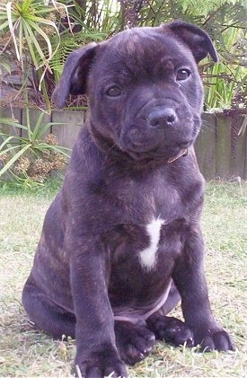 Front view - A wide, muscular, dark brown, brindle with white Staffordshire Bull Terrier puppy sitting in grass looking forward with its head slightly tilted to the left.