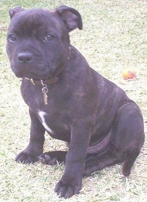 The left side of a small, but thick, dark brown brindle with white Staffordshire Bull Terrier puppy sitting in grass looking forward. The dog is wearing a brown leather collar.