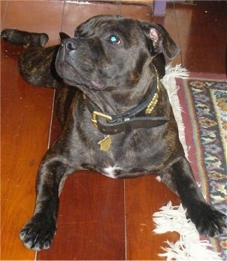 Front view - A wide-chested, brown brindle with white Staffordshire Bull Terrier dog laying on a hardwood floor looking up and to the left. There is a rug to the right of it. The dog is wearing a thick brown collar.