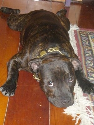 A wide, muscular, brown brindle with white Staffordshire Bull Terrier puppy laying down on a hardwood floor looking up.